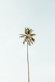 Samotna tropikalna egzotyczna palma kokosowa na tle wielkiego błękitnego nieba