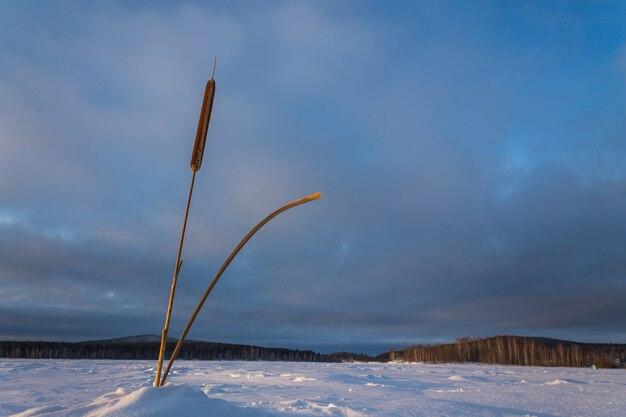 Samotna trzcina pośrodku zamarzniętego jeziora pokrytego śniegiem