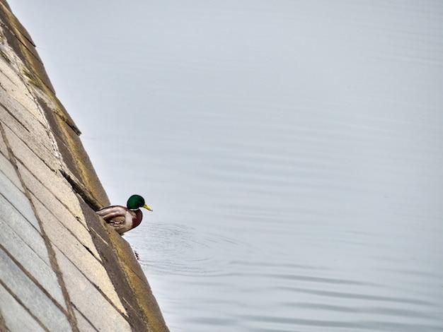 Samotna zielona kaczki głowa blisko miasto rzeki