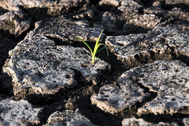 Samotna zielona kiełka w suchej, popękanej ziemi