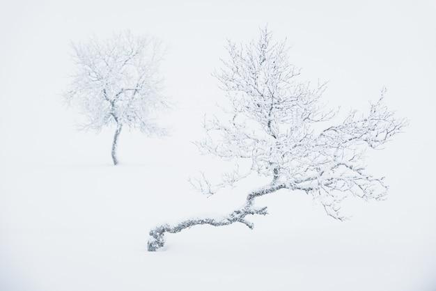 Samotne drzewa pokryte głębokim śniegiem