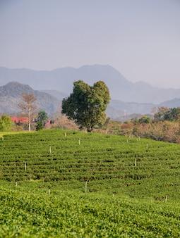 Samotne drzewo na plantacji herbaty na wzgórzu