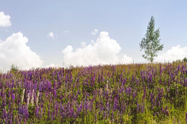 Samotne drzewo na wzgórzu z kwitnącymi łubinami