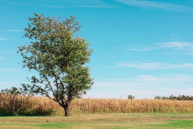 Samotne drzewo przy polu pszenicy wummer, hatton farm, maryland