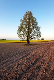 Samotne drzewo rosnące na polach uprawnych. białoruś