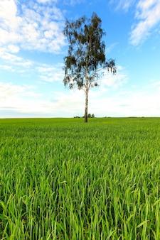 Samotne drzewo rosnące na polach uprawnych.
