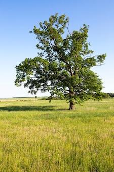 Samotne drzewo rosnące na polu rolnym. lato. w tle rośnie mały lasek.