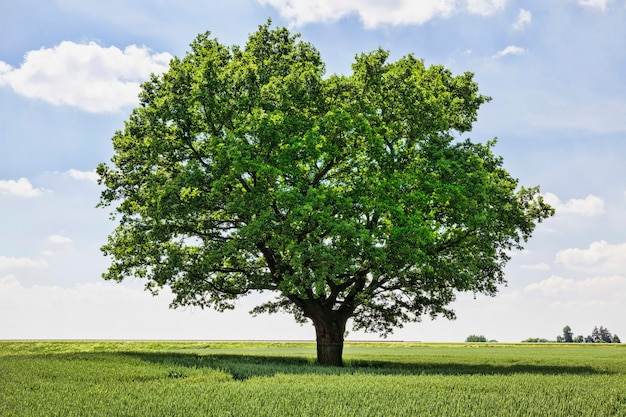 Samotne drzewo rosnące na polu
