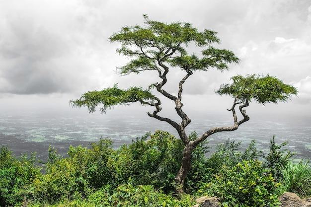 Samotne drzewo tropikalne w dolinie wzgórz nelliyampathy, kerala w indiach