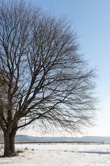 Samotne duże drzewo na tle ośnieżonych pól