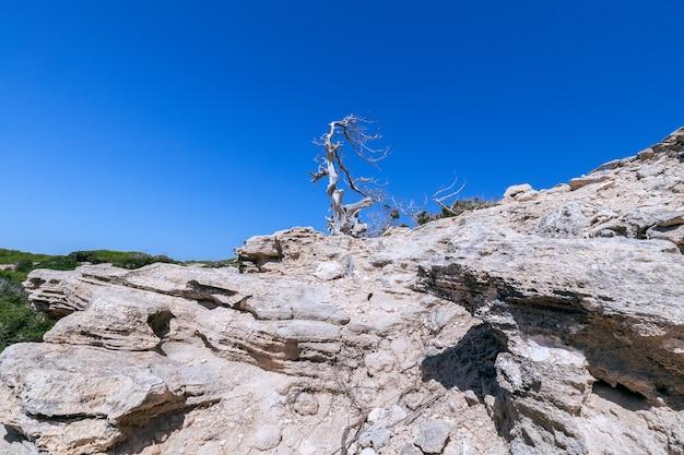 Samotne rozwalone drzewo na skalistym wybrzeżu