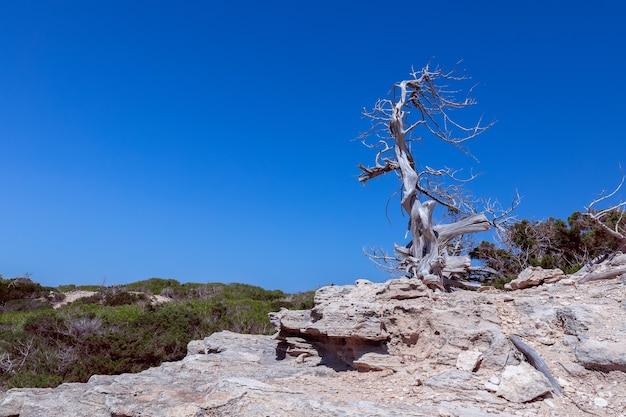 Samotne, wysuszone słońcem drzewo na skalistym wybrzeżu