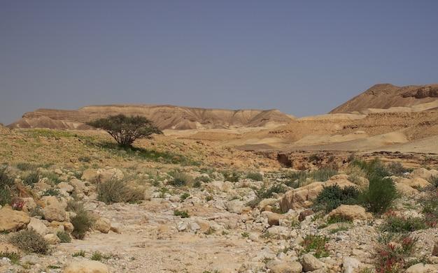 Samotne zielone drzewo na pustyni judzkiej