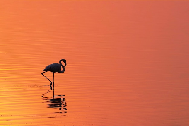 Samotny afrykański ptak flaming stoi nad jeziorem na tle jasnego złotego zachodu słońca
