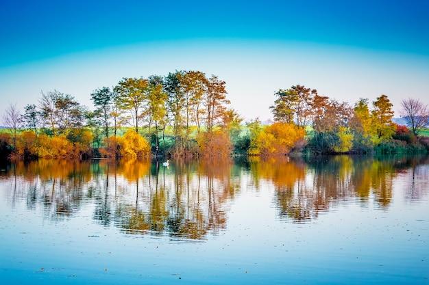Samotny biały łabędź pływa wzdłuż rzeki, w której odbijają się wielobarwne jesienne drzewa. jesienny krajobraz z rzeką
