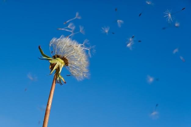 Samotny biały mniszek lekarski na niebieskim niebie jako symbol odrodzenia lub początku nowego życia. pojęcie ekologii.
