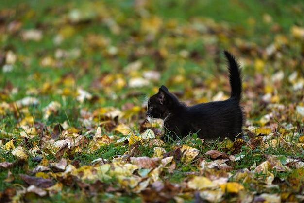 Samotny czarny kotek z podniesionym ogonem spaceruje po polu z żółtymi liśćmi