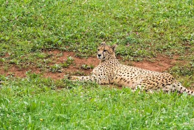 Samotny dziki gepard na trawie