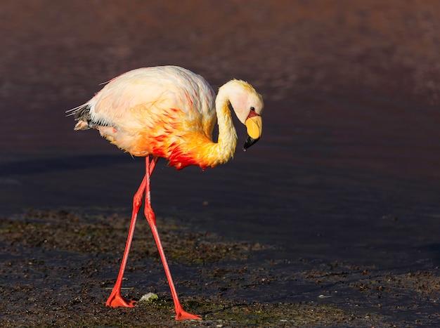 Samotny flaming chodzenie o zmierzchu. laguna colorada, potosi. boliwia. ameryka południowa