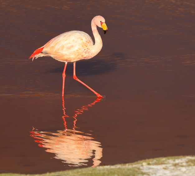 Samotny flaming i jego odbicie w laguna colorada w potosi w boliwii