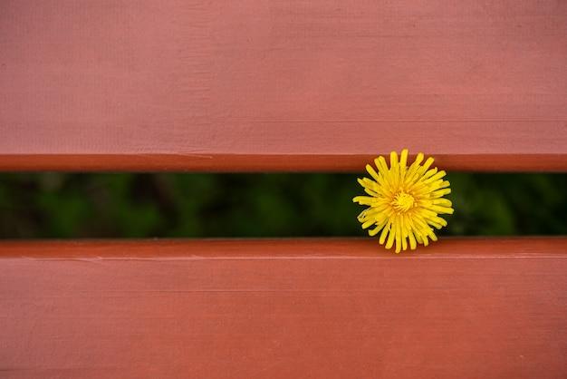 Samotny kwiat mniszka rośnie między dwiema brązowymi deskami