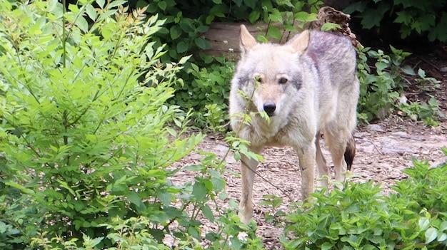 Samotny las szary wilk stojący wśród zielonych drzew i krzewów.