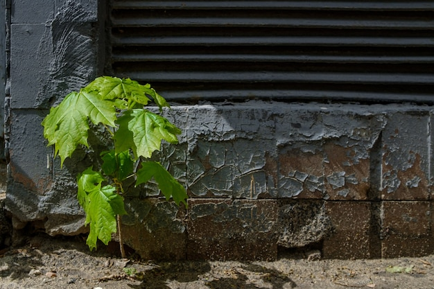 Samotny mały pęd klonu na tle ciemnej betonowej ściany