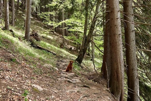 Samotny pies golden retriever siedzi na ścieżce w pobliżu wysokich drzew w lesie