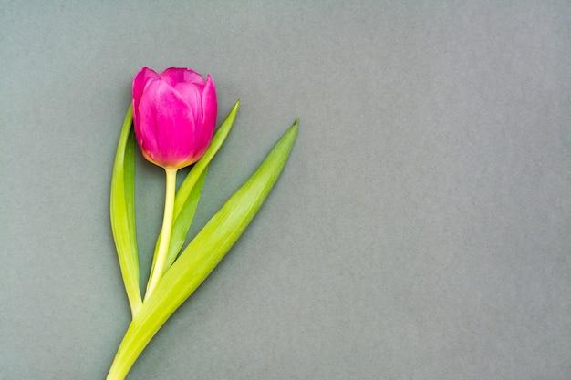 Samotny różowy tulipan z zielonymi liśćmi na jednolitym ciemnym tle. skopiuj miejsce