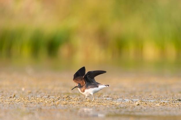 Samotny sandpiper tringa solitaria stojący w wodzie z uniesionymi skrzydłami.