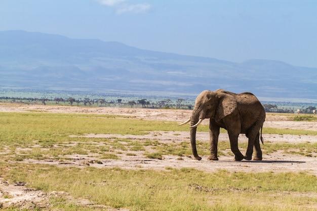 Samotny słoń na sawannie. kenia