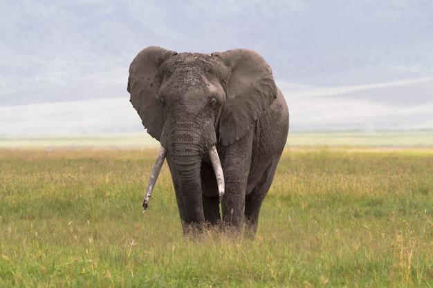 Samotny słoń. stary duży słoń. krater ngorongoro, tanzania.