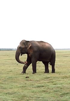 Samotny słoń w sawannie