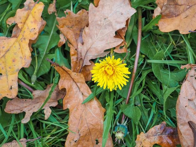 Samotny, spóźniony żółty mniszek lekarski kwitnie jesienią w trawie wśród opadłych liści drzew