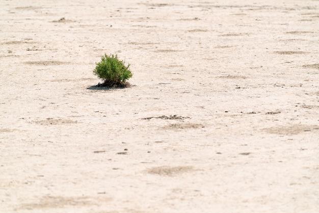Samotny zielony krzew na pustyni