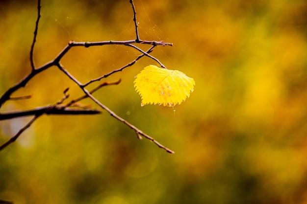 Samotny żółty liść lipy na drzewie jesienią