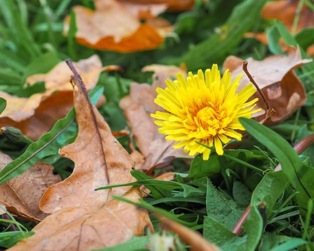 Samotny żółty mniszek lekarski kwitnie jesienią w trawie wśród opadłych liści drzew