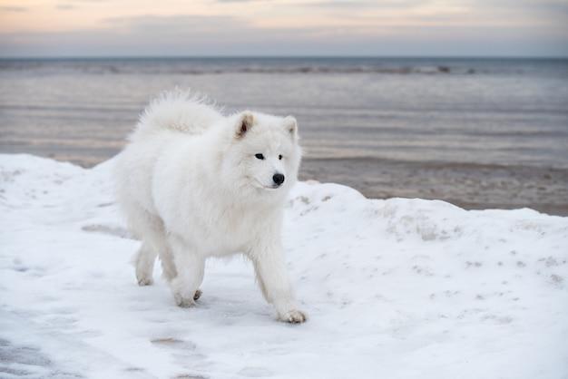 Samoyed biały pies biegnie na śnieżnej plaży na łotwie