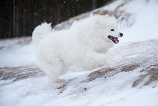 Samoyed biały pies biegnie po śniegu na plaży carnikova na łotwie