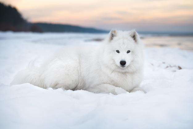 Samoyed biały pies jest na plaży saulkrasti na łotwie