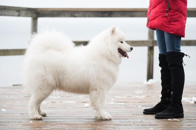 Samoyed biały pies jest na śnieżnej drodze balta kapa w saulkrasti na łotwie