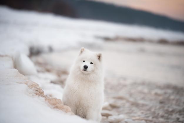 Samoyed biały pies jest na śnieżnej plaży saulkrasti na łotwie