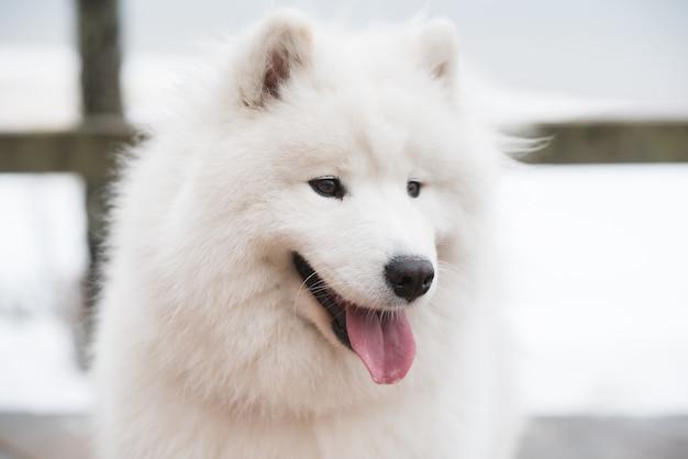 Samoyed biały pies kaganiec z bliska na śniegu droga balta kapa w saulkrasti, łotwa