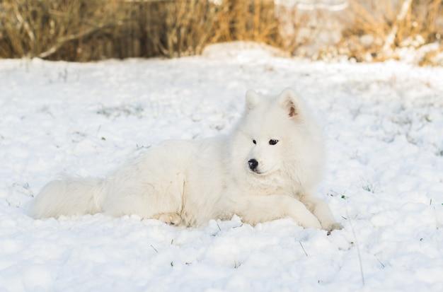 Samoyed pies odpoczywa w śniegu w słoneczny dzień