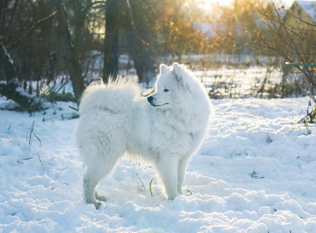 Samoyed pies stojący w śniegu, odwracając wzrok. oświetlenie o zachodzie słońca