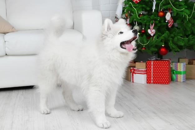 Samoyed pies w pokoju z choinką na białym tle kanapy
