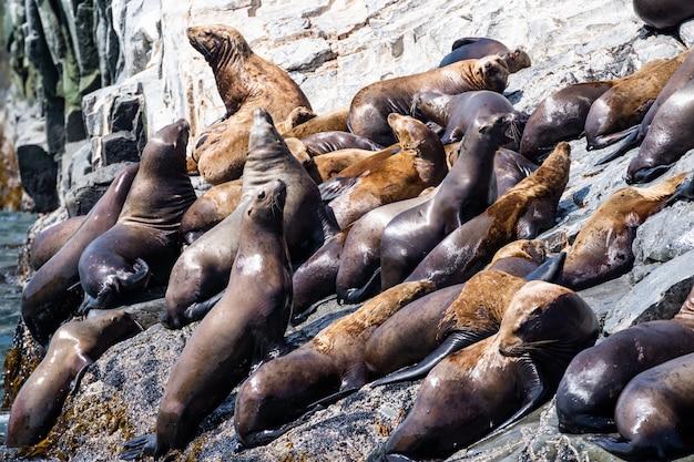 San diego, kalifornia - usa. zamknij się z kalifornijskiego lwa morskiego (zalophus californianus) pozowanie na skale na rafach plaży la jolla