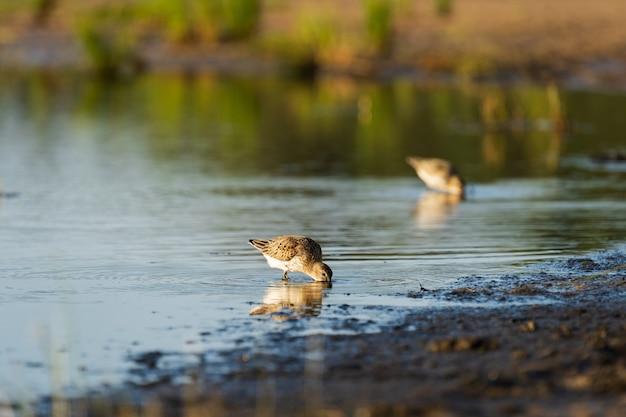 Sandpiper żeruje wzdłuż wybrzeży bałtyku, zanim jesienią migruje na południe