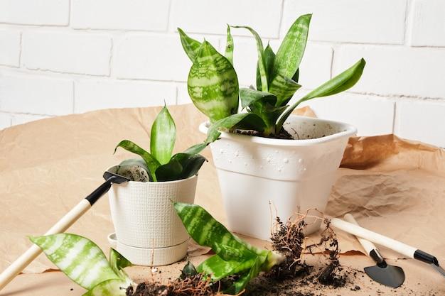 Sansevieria w białych doniczkach i zestaw do przesadzania i pielęgnacji roślin na papierze rzemieślniczym, przesadzanie roślin domowych, tło z białej cegły