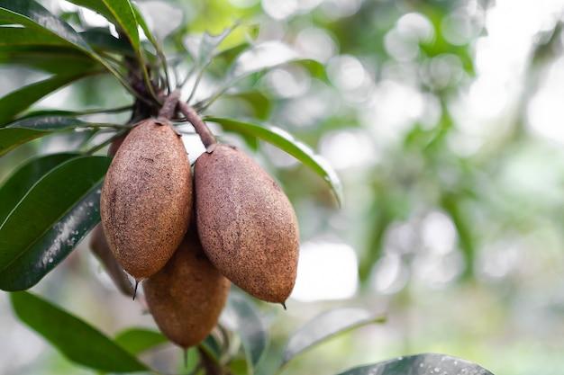 Sapodilla jest autentyczna i pozostawia na gałązkach z rozmytym tłem. lato owoców tropikalnych w tajlandii z organicznym przeszczepem w ogrodzie. słodka żywność dla koncepcji zdrowia.